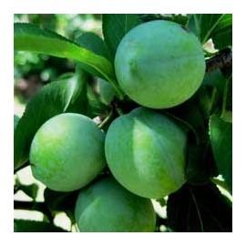 Ciruelo - Reina claudia verde -