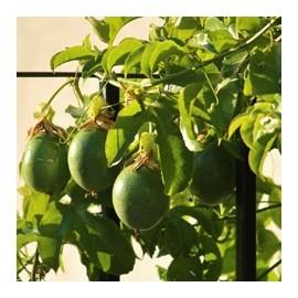Passiflora - Maracuyá -