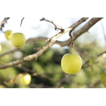 Manzano Golden Arviplant