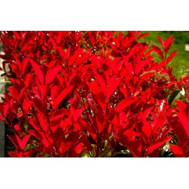 "Photinia ""Red Robin""  (30 cm)"