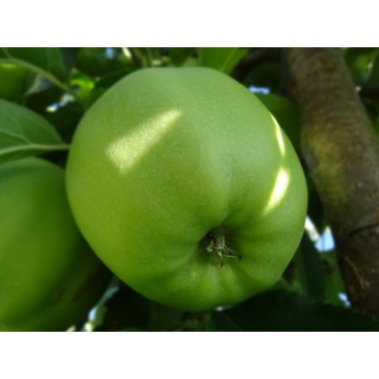 Manzano_Granny_smith_arviplant