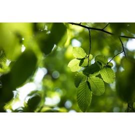 HAYA verde– FAGUS SYLVATICA