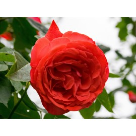 Rosal trepador blanco