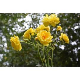 Rosal trepador amarillo