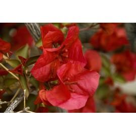 Bougamvillea roja