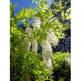 Glicinia blanca arviplant