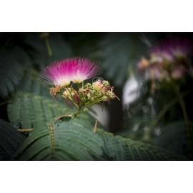 Acacia de constantinopla - cepellón