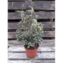 Osmanthus heterophyllus variegata