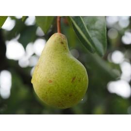 Peral - Limonera -